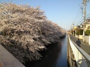 氷川台 桜の名所 石神井川 桜
