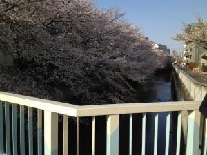 氷川台 桜 景色