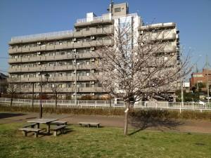 城北中央公園 桜 花見