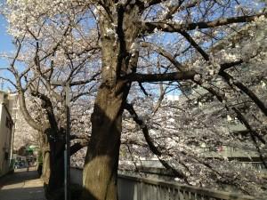 氷川台 石神井川 桜